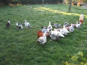 Kronshorster Lindenhof - Unsere Enten